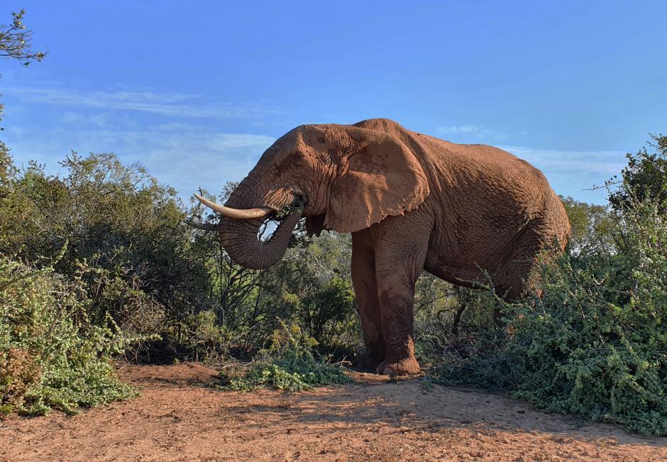 Elephanttapir